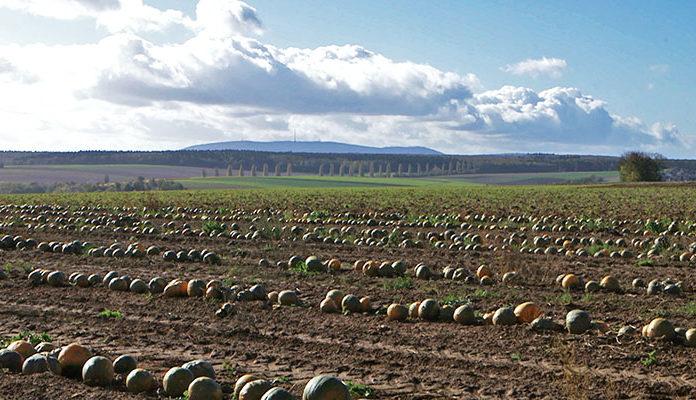 Kuerbisse wachsen in Reihe auf Feld in Mauchenheim